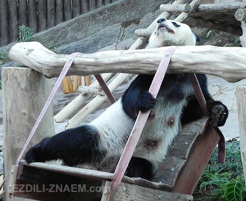 Зоопарк Чангмая: Панда выпрашивает бамбук