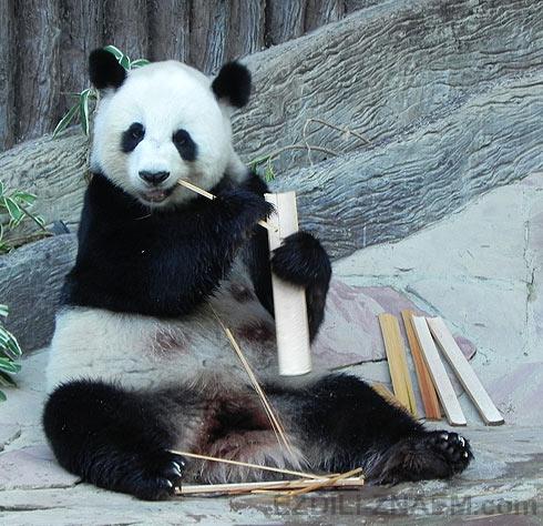 Панда любит бамбук в зоопарке чангмая