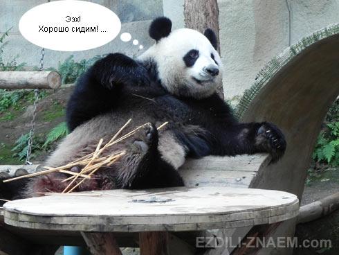 Панда в зоопарке Чангмая