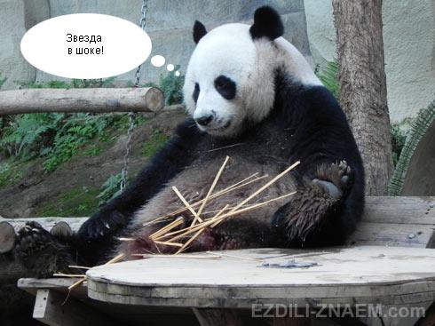 Панда и бамбук в зоопарке Чангмая