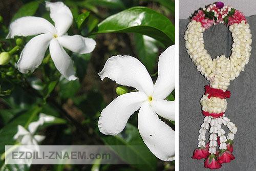 Цветы в Тайланде. Жасмин