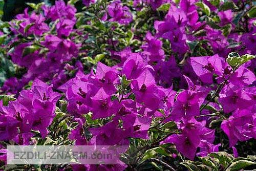 Цветы тайланда. Бугенвиль