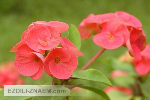 Цветы тайланда. Молочай Милля
