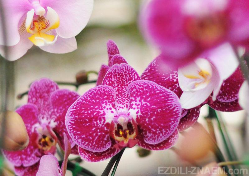 Орхидея. Фестиваль цветов в Таиланде
