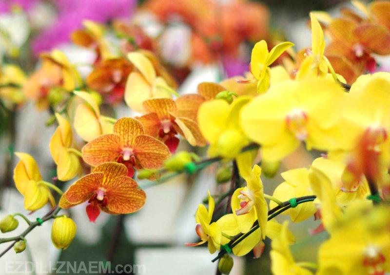 Праздник цветов, Чиангмай, Таиланд