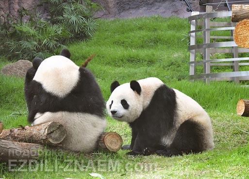 Что посмотреть в Макао: панды в зоопарке на острове Тайпа