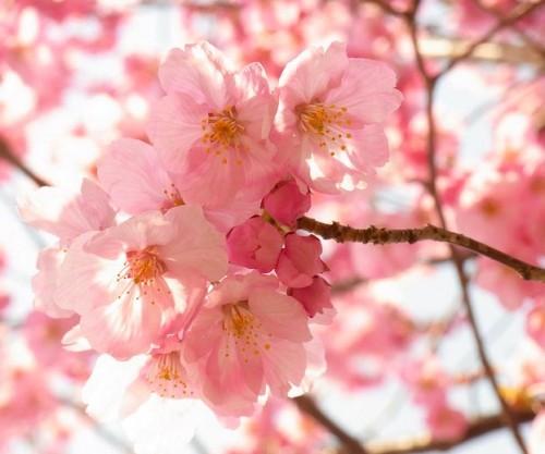 Ханами - это любование цветами сакуры