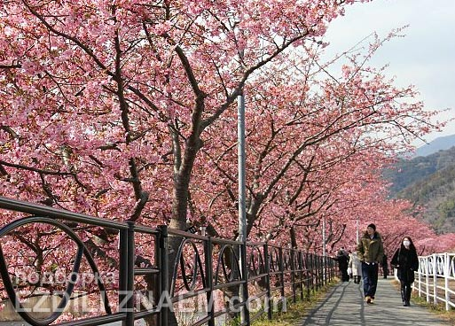 Цветение сакуры в префектуре Кавазу. Япония
