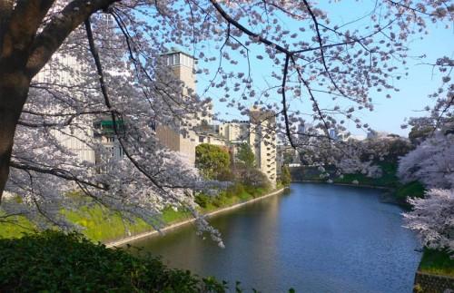 Цветение сакуры в Токио. Япония