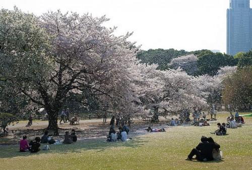 Цветение сакуры в Токио. Парк Shinjuku Gyoen