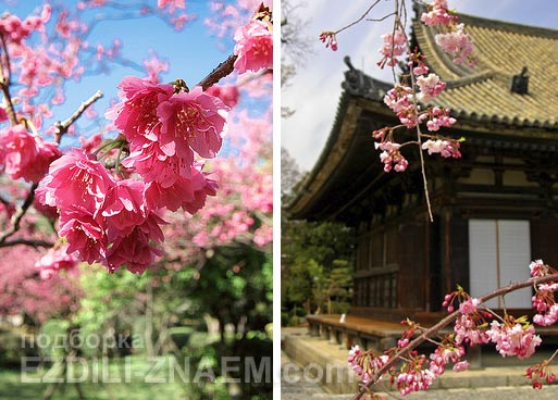 Куда ехать в марте: цветение сакуры в Японии