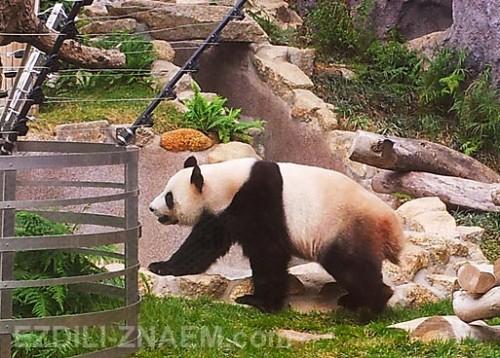 Как посмотреть панду в Макао
