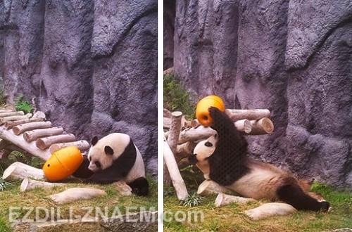 Смотрим панду в Макао