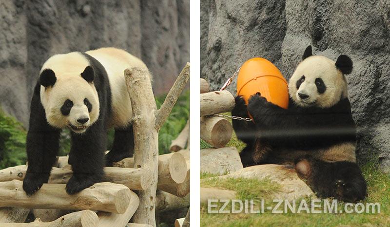 Панды в зоопарке на острове Тайпа, Макао