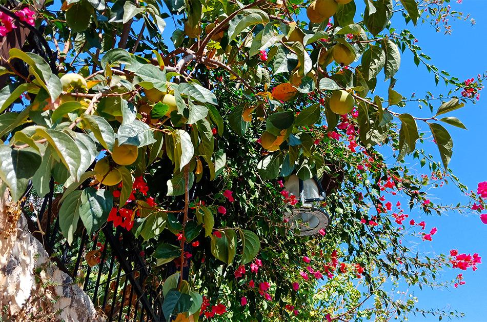 В октябре все цветет и фрукты созрели
