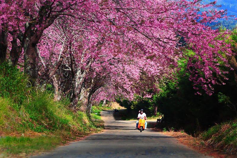Цветение сакуры по дороге в Doi Chang