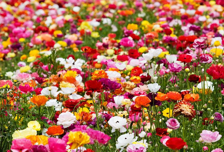 Цветочные поля в Калифорнии