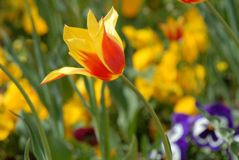 Тюльпаны в Эмирган Парке