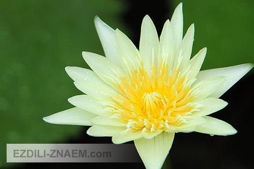 Цветы Тайланда. Лотос