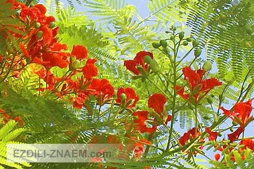 Цветы в Тайланде. Flame Tree