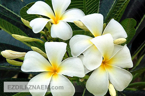 Цветы тайланда. Франжипани