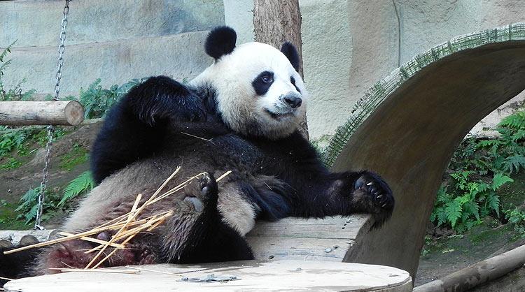 Панда в зоопарке Чианг май
