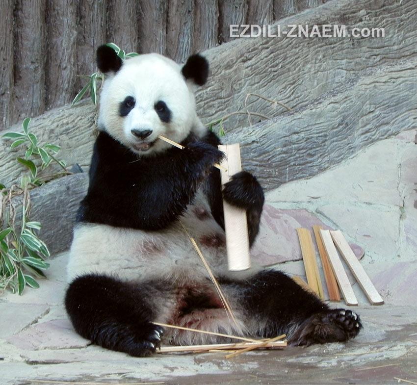 Панды в Таиланде живут с полным комфортом. Они довольные и здоровые