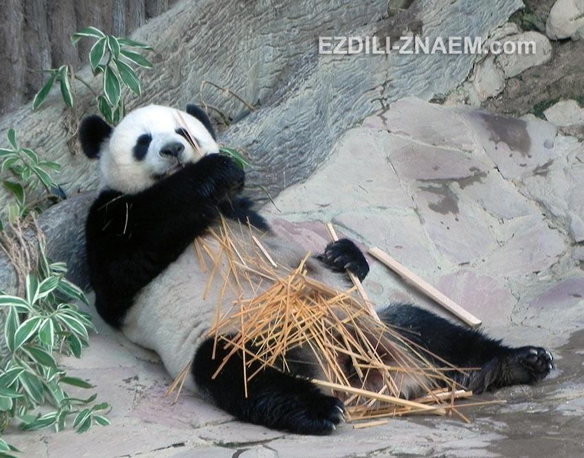 панды в Таиланде - настоящие трудоголики