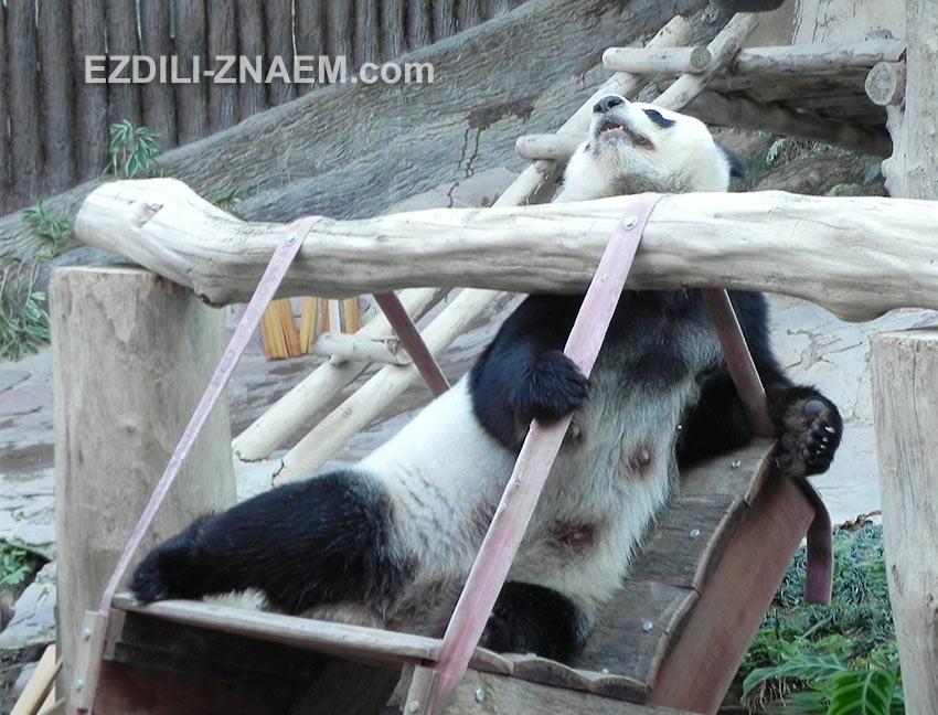 панда хочет поработать, - дайте бамбука!