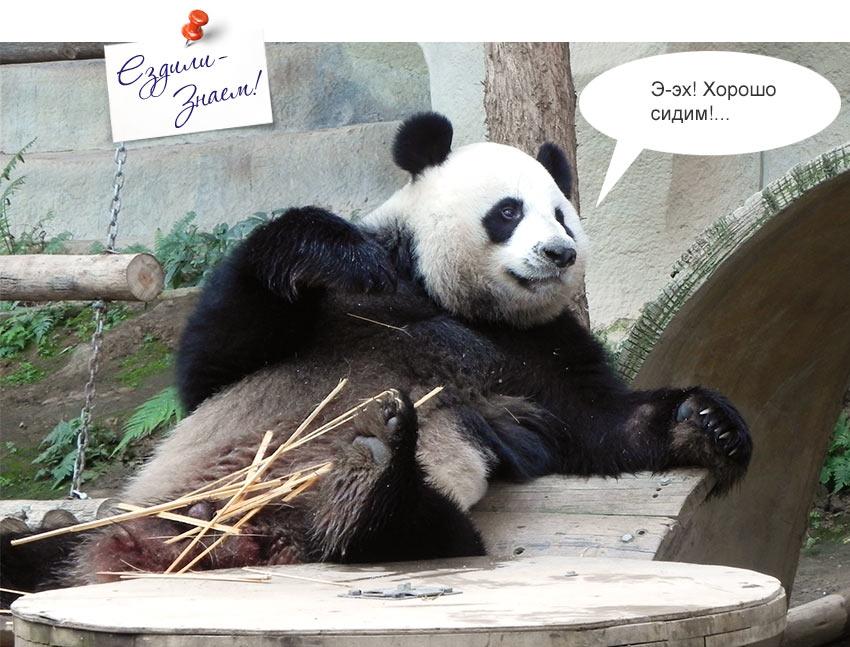 Панда позирует перед туристами в зоопарке Чианг Май