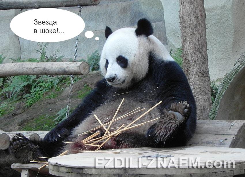 панда размышляет о своей жизни в Таиланде