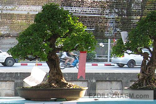 Бонсаи на Празднике цветов Тайланда