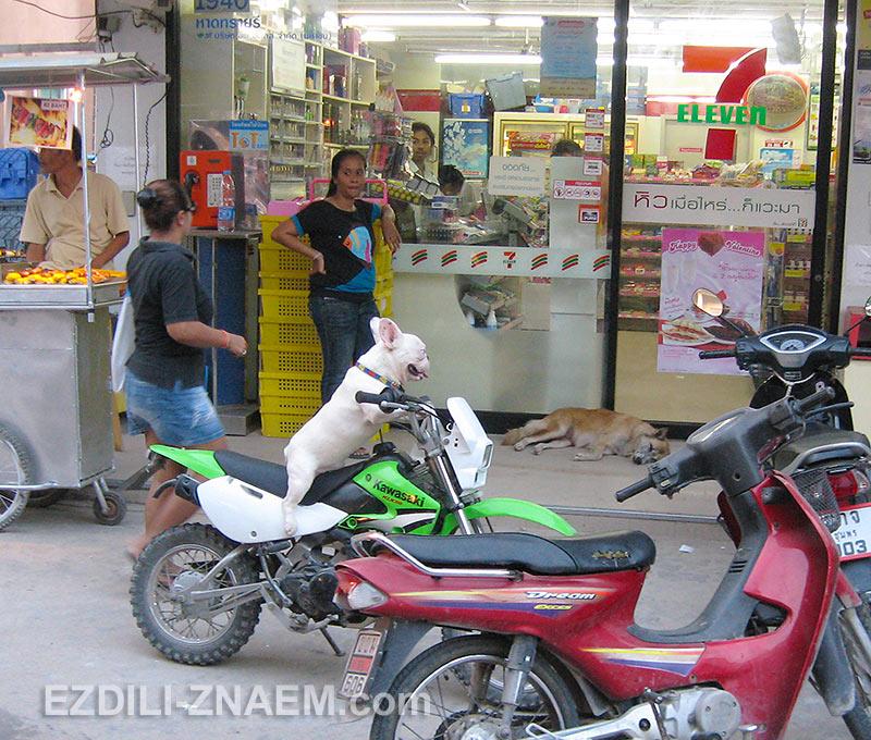 позитивные собаки на острове Ко Тао
