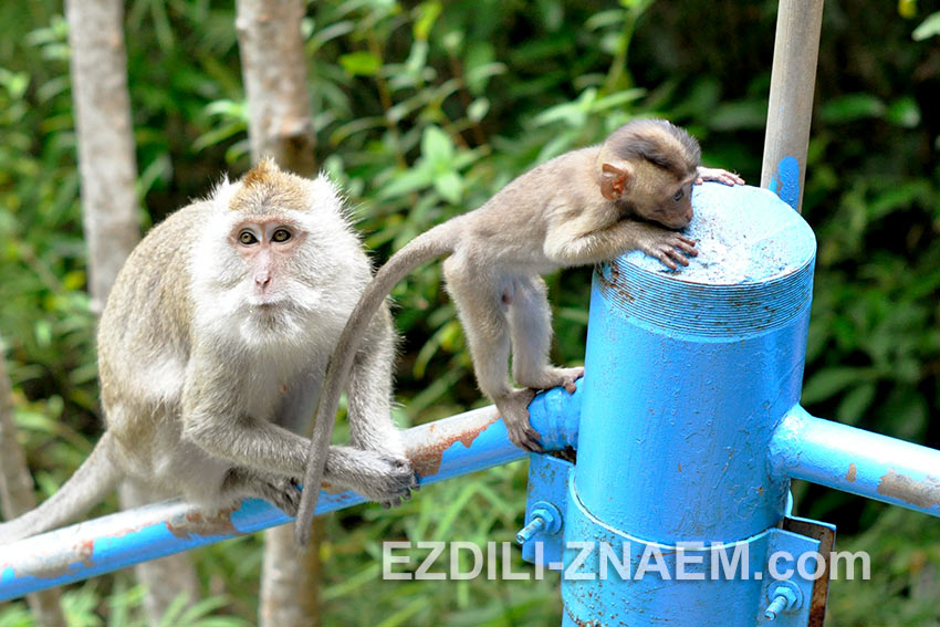 обезьяны по пути на гору Тигровой пещеры в Краби