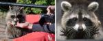 Канада: еноты-попрошайки в Монреале