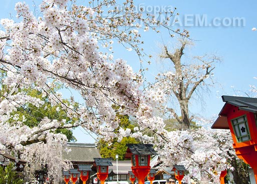 Цветение сакуры в Киото, Япония