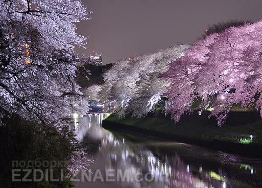 Вечерняя подсветка цветущих деревьев сакуры в парках Японии