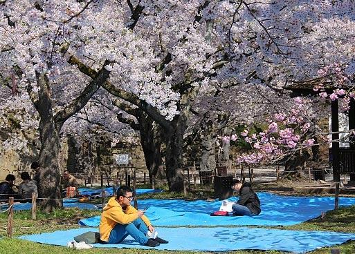пикник во время цветения сакуры в городе Айзу, Япония