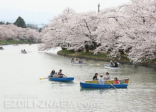 Цветущие сакуры в парке города Хиросаки