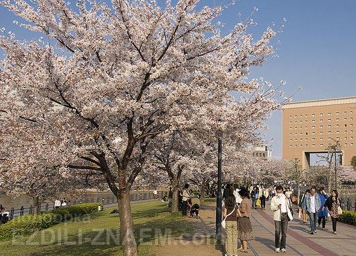 Цветение сакуры в парках Йокогамы. Япония