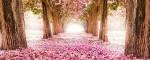 Цветение сакуры в Японии – праздник Ханами