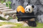 Панды в Макао: как самостоятельно посмотреть панд на острове Тайпа