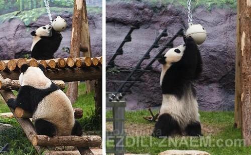 Панды в Макао: как посмотреть самостоятельно