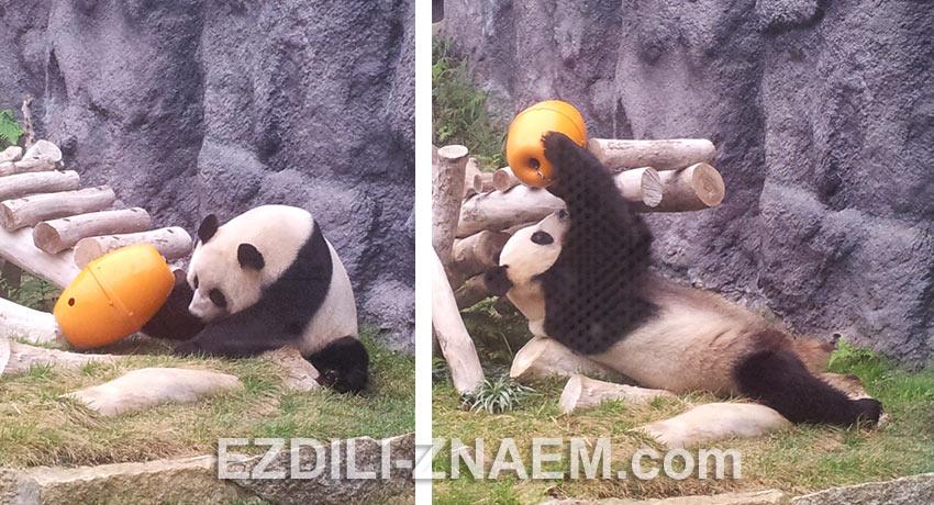 панда занимается тренировочной кормежкой