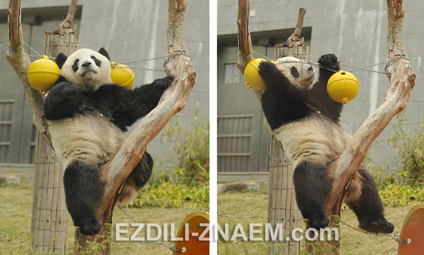 панда внутри закрытого павильона. Макао