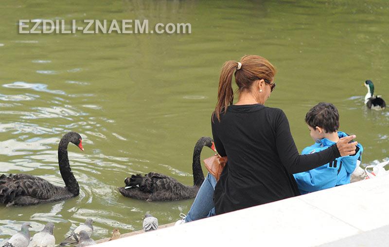 Лебеди в парке Ретиро, Мадрид