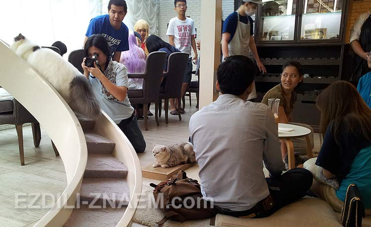 Что посмотреть в Бангкоке: кошачье кафе