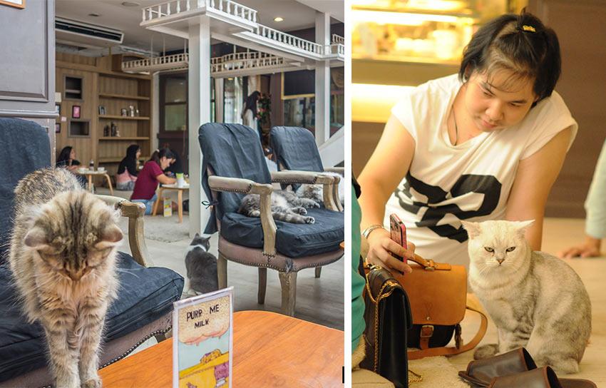 """кафе с кошками """"Purr Cat Cafe Club"""" в Бангкоке"""
