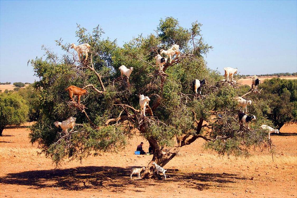 Козы, пасущиеся на деревьях, Морокко