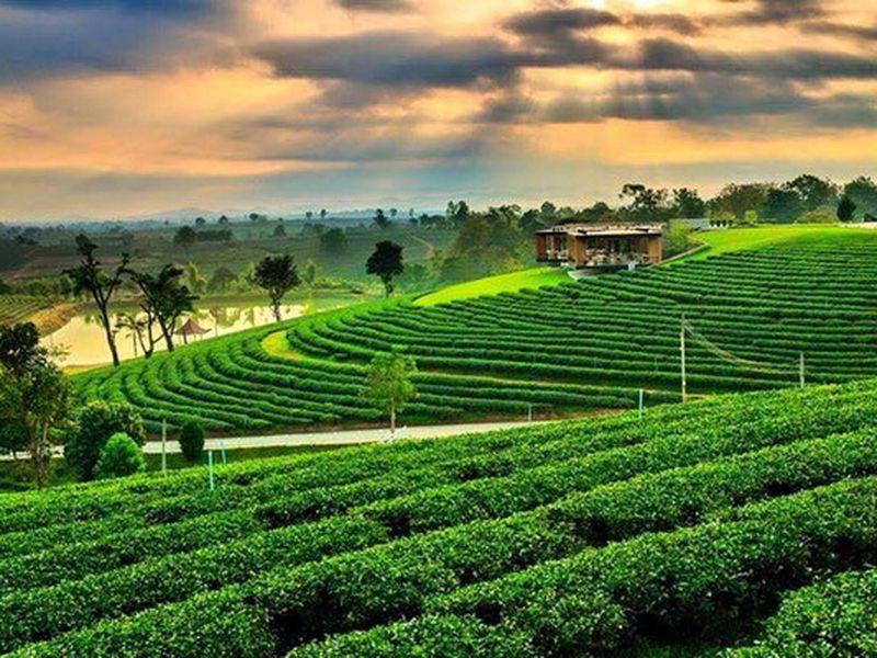 Чайные плантации на севере Таиланда
